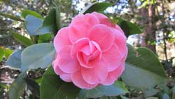 Camellias of Descanso Gardens